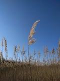Roseau avec le ciel bleu photos stock