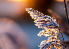 Roseau commun au lever de soleil Images stock