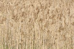 Roseau commun (Phragmites) Photo libre de droits