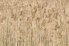 Roseau commun (Phragmites) Photo libre de droits