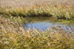 Roseau d'automne Photo libre de droits
