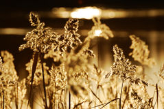 Roseau d'automne Photographie stock