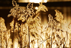 Roseau d'automne Image libre de droits
