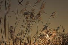 Roseau dans la lumière d'or Photographie stock