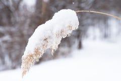 Roseau dans la neige photos stock