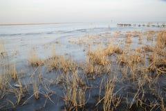 Roseau dans le lac figé Photos libres de droits