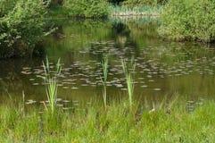 Roseau dans un étang Photographie stock
