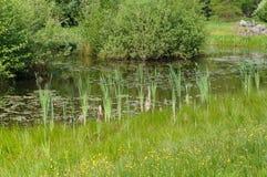 Roseau dans un étang Image libre de droits