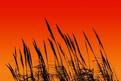 Roseau de coucher du soleil Image stock