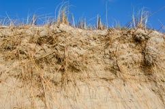 Roseau des sables, Ammophila Photographie stock