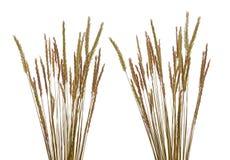 Roseau des sables (arénaire d'Ammophila) Images stock