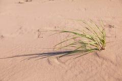 Roseau des sables de gourbet image libre de droits