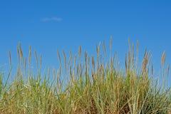 Roseau des sables sur un ciel bleu clair Photos libres de droits