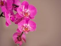 Roseau est une belle orchidée photos libres de droits