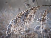 Roseau givré en hiver Photos libres de droits