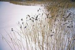 Roseau pendant l'hiver Images libres de droits
