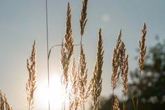 Roseau sec - canne Image libre de droits