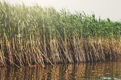 Roseau vert dans l'eau, fond de nature Images libres de droits