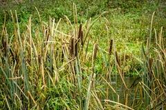 Roseaux à l'étang Photographie stock libre de droits