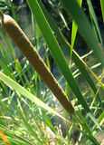 Roseaux Photo stock