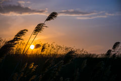 Roseaux au coucher du soleil Photo libre de droits