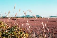 Roseaux d'automne en Corée Photographie stock