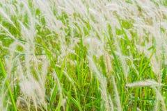 Roseaux d'herbe Photos stock