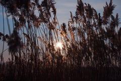 Roseaux d'herbe et cieux ensoleillés Image libre de droits