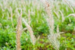 Roseaux d'herbe sous le vent Images stock