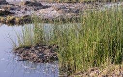 Roseaux dans l'étang Photo stock