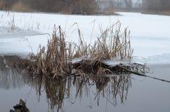 Roseaux dans l'eau glaciale Photos libres de droits