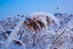 Roseaux dans la neige Photo stock