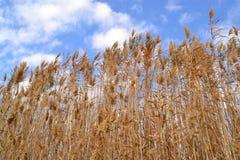Roseaux dans le vent Photo libre de droits