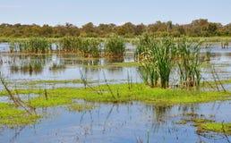 Roseaux dans les marécages de lac Bibra, Australie occidentale Photos libres de droits