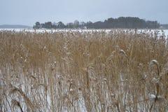 Roseaux de Brown sur le lac congelé Photo stock