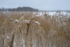 Roseaux de Brown sur le lac congelé Photos stock