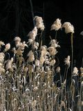 Roseaux de marais Photographie stock libre de droits