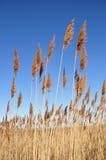 Roseaux des sables grands Image stock