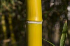 Roseaux en bambou Photo libre de droits