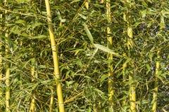 Roseaux en bambou Photographie stock libre de droits