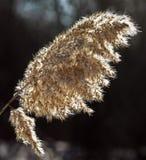 Roseaux ensoleillés de brosse Photo libre de droits