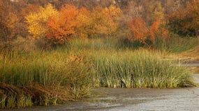 Roseaux et couleur d'automne Photo stock