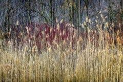 Roseaux et forêt d'hiver image stock