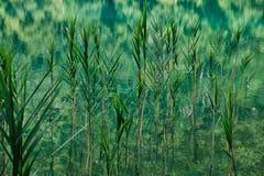 Roseaux et précipitations s'élevant dans des lacs Plitvice, Croatie image stock