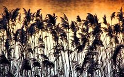 Roseaux et précipitations sur un côté de fleuve au coucher du soleil Images libres de droits