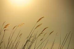 Roseaux et soleil d'or Image stock