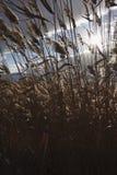Roseaux, jonc, contre le ciel nuageux Autumn Landscape Photos stock