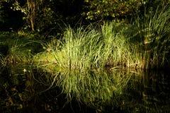 Roseaux à l'eau Images libres de droits