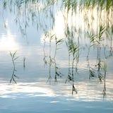 Roseaux s'élevant dans le lac Photo stock