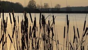 Roseaux sauvages balançant dans le vent sur le lac pendant le coucher du soleil Tir moyen banque de vidéos